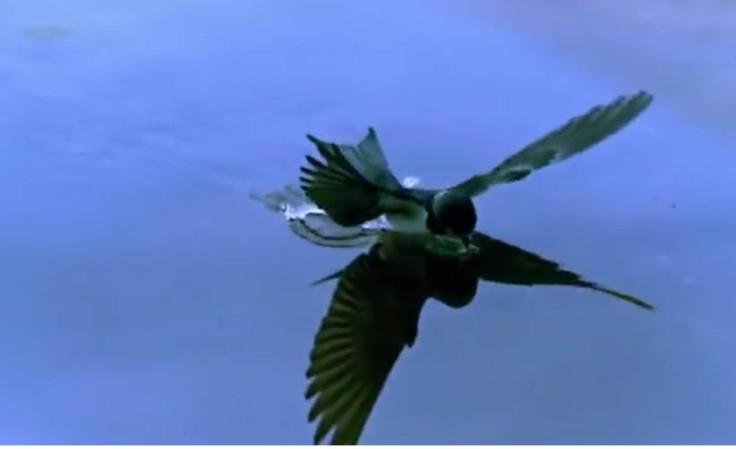 hirondelle-buvant-pleinvol-arte-tourdumondeavold'oiseau